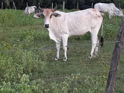Vacas e novilhos