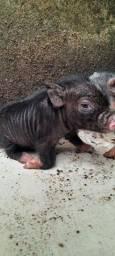 Venda de porquinhos filhotes