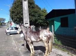 Cavalo Crioulo Oveiro colorado