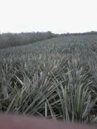 Venda de abacaxi