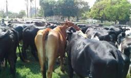 VACA leiteira/GADO leiteiro, animais de alta qualidade. Girolanda/Jersey