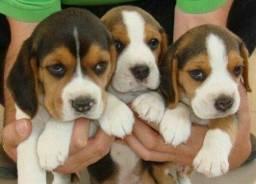 Beagle Macho ja microchipado e vermifugado