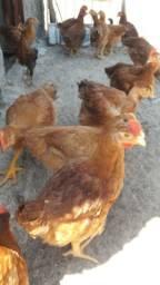 Vendas de frangos vivos ou abatidos