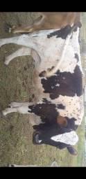 Bleck friday uma vaca prenha