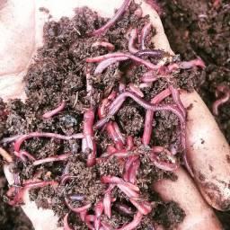 100 minhocas vermelhas da Califórnia para compostagem
