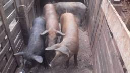 Leitão/ porco