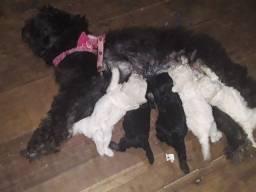 Filhote de poodle toy MACHOS