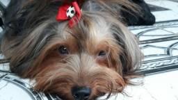Yorkshire Terrier Raça Yorkshire