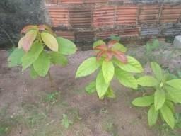 Vendo mudas de abacate manteiga e muda de coqueiro verde e amarelo
