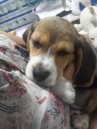 Filhote Beagle macho