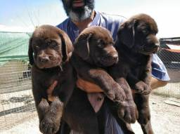Labrador chocolates