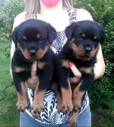 Sua Oportunidade! Filhotes Fêmeas Rottweiler Típica e Acima da Média