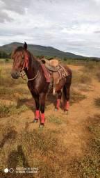 Cavalo Castanho Castrado