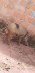 Porco macho
