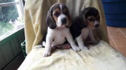 Beagle machos e fêmeas com garantias de saúde completa