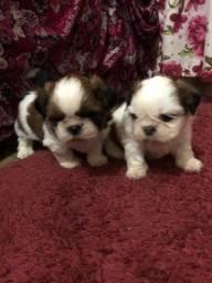 2 filhotes de shitzu