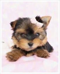 Yorkshire Terrier garantia e atendimento pós venda!