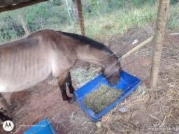Égua saburuna marcha picada está cruzada...ela tem 5 anos !