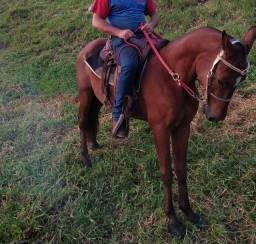 Cavalo novo bem domado marcha picada ...