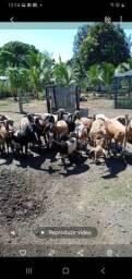 Vendo carneiros leia a descrição