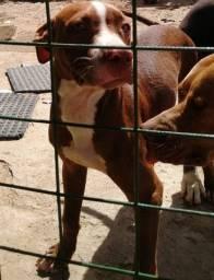 American Pitbull Terrier - filhote com 5 meses.
