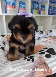 Yorkshire terrier micro femea e macho