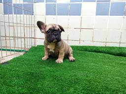 Bulldog Francês - Sable - com pedigree CBKC