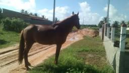 Cavalo mangá larga registrado