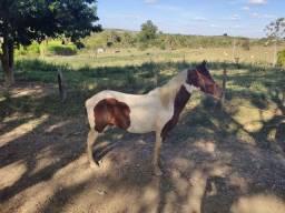 Vendo Cavalo Pampo