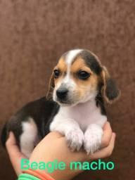 Beagle macho vacinado
