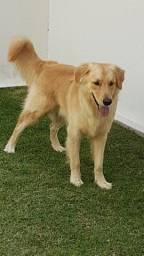 Procuro para cruzar Fêmea Golden ou Labrador /Caramelo