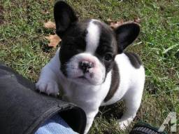Filhotes de bulldog frances mk dr pet