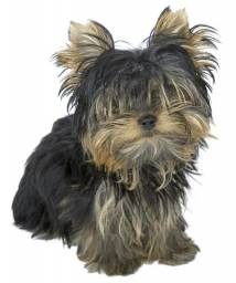 Yorkshire Terrier baby face e micrissimos