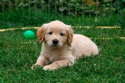 Labrador Macho - pedigree
