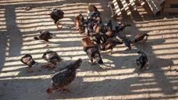 Título do anúncio: Vendo galinhas caipiras