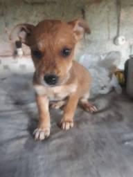 Cachorrinha de pequeno porte