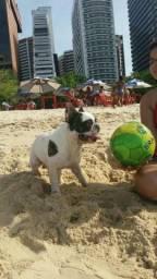 Bulldog francês machu desponivel para cobertura