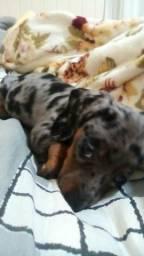 Filhote dachshund anão macho