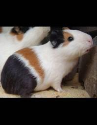 Alguém que esteja vendendo ou doando filhote de porquinho da Índia?