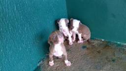 Vendo filhote de pitbull red