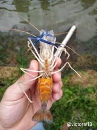 Parceria para produzir camarão