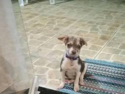 Chihuahua fêmea tricolor