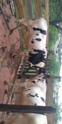 Vendo duas vacas