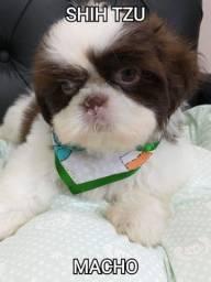 Shih-Tzu chocolate  com olhos verdes