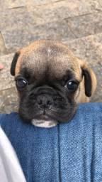 Vendo filhote fêmea de bulldog francês