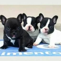 Super fofos filhotes de Bulldog francês já vermifugados !!