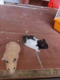 Vendo um casal de hamster junto com a gaiola.