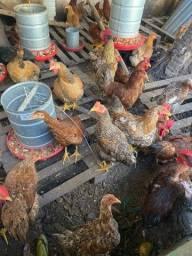 Galos e galinhas caipiras 2 a 3 kilos