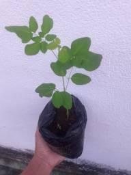 Mudas de Moringa oleifera