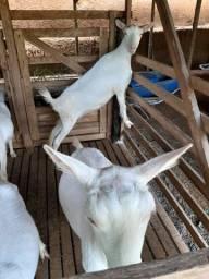 Título do anúncio: Cabras Sanen